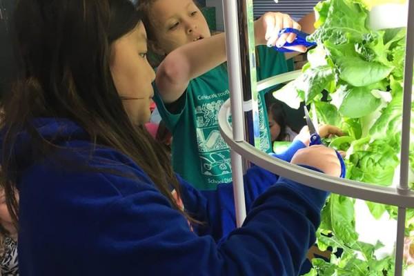Harvesting a crop of lettuce: LaChia Vang and Ayra Bonilla-Olson, third grade.
