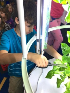 River Powell, third grade, cuts some of the biggest lettuce leaves for lunch.
